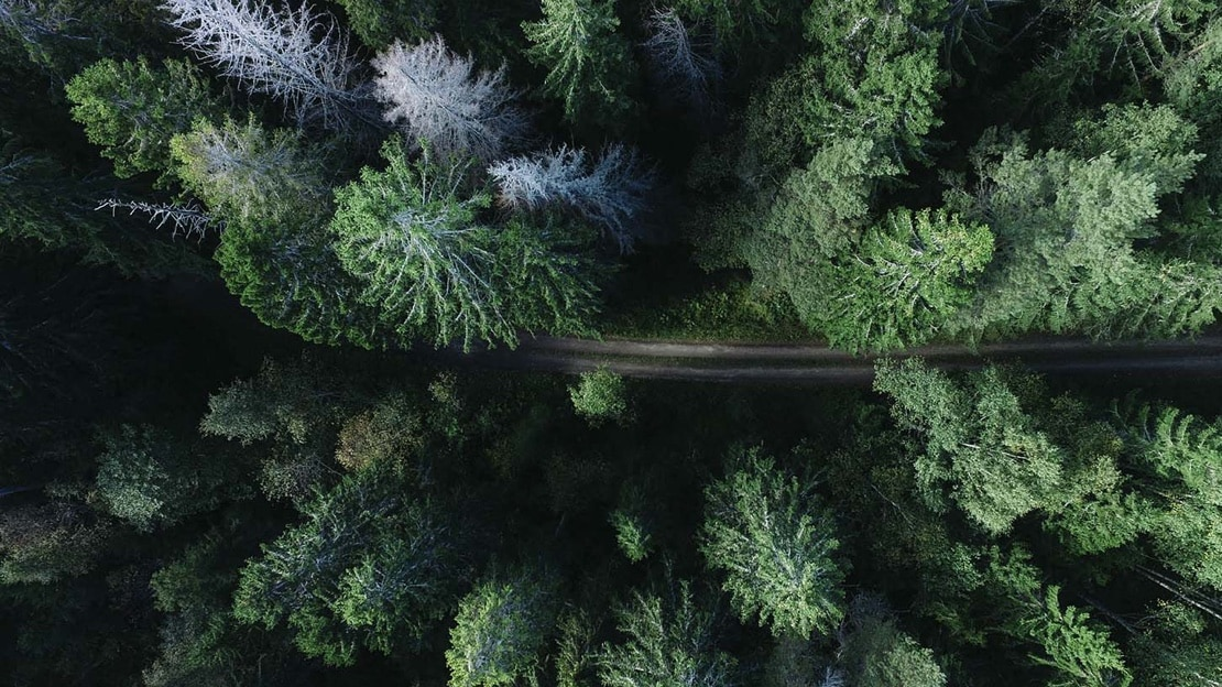 A road winds through a forest of evergreen trees